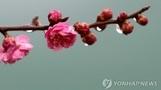 꽃구경 갈까요?…'광양 매화축제' 오늘 개막