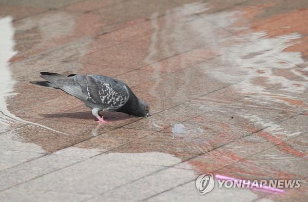 '비둘기도 목마르다'/사진=연합뉴스