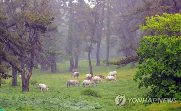 폭우 속 제주마 /사진=연합뉴스