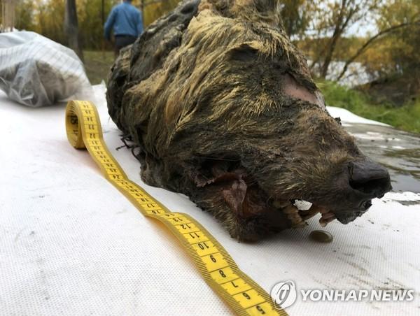 시베리아에서 발견된 4만년 전 추정 늑대 머리 /사진=연합뉴스