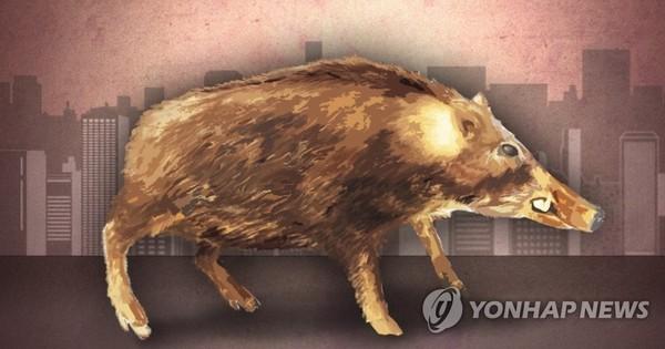 도심지역 멧돼지 출몰 /PG=연합뉴스