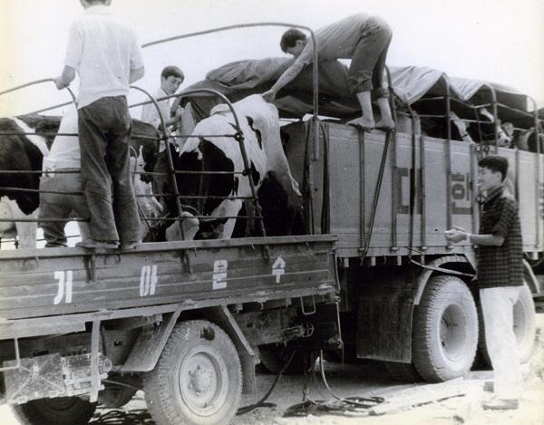 1970년대 검역을 마친 유우가 대상낙농가 입식을 위해 차에 실리고있다. [사진 제공 = 매일유업]