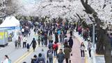 4월5일~11일 `여의도 봄꽃축제` 개최…김태우부터 볼빨간사춘기까지 화려한 무대