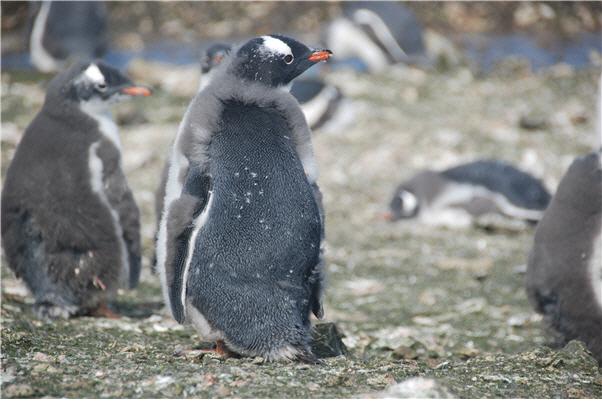 월동을 대비해 깃갈이 중인 남극의 젠투펭귄. 남극 펭귄들은 겨울이 오기 전 약 2~3주 동안 깃갈이를 하는 동안 물속을 헤엄칠 수 없어 단식을 한다. [사진 제공 = 극지연구소]