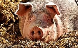 만취한男, 돼지에게  괜히 시비 걸었다가…