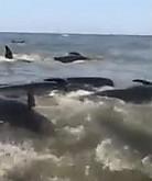 수십마리 밀려온 고래
